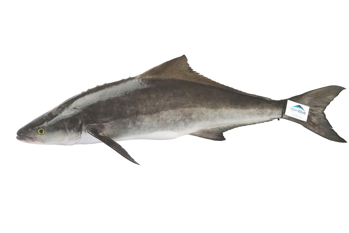 Open blue cobia black king fish fundamentally food for Picture of a fish